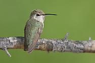 Costa's Hummingbird - Calypte costae - Adult female