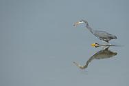 Western reef egret, Egretta gularis, Pulicat Lake, Tamil Nadu, India