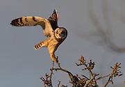 A Short-eared owl takes flight as it hunts rodents in the fields along Eide Road near Stanwood. (Mark Harrison / Seattle Times)