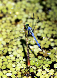 01 June 2015. Jean Lafitte National Historic Park, Louisiana.<br /> A dragonfly in the swamp at the Barataria Preserve wetlands south or New Orleans.<br /> Photo©; Charlie Varley/varleypix.com