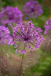 Bee on Allium 'Purple Rain' with Foeniculum vulgare 'Purpureum'. Bronze fennel