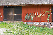 Herbs and fresh garlic hanging to dry in bunches on a red barn wall. The farm at Rashult where Linnaeus was born. Smaland region. Sweden, Europe.
