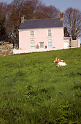 Pink farmhouse with Guernsey cow in front field, Guernsey, Channel Islands