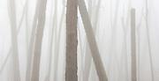 Monterey Pines in Fog, Monterey, California