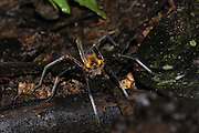 Ecuador, May 8 2010: A spider on the forest floor. Copyright 2010 Peter Horrell