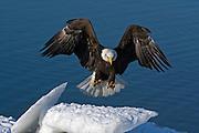Bald Eagle, Haliaeetus leucocephalus, landing on iceberg, Kenai Peninsula, Homer Spit, Homer, Alaska. Digital original #2006_0868 ©Robin Brandt