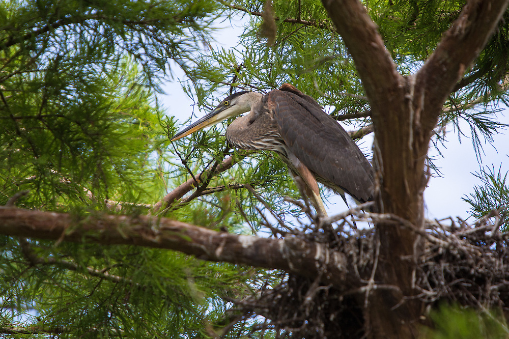 Young great blue heron in a nest at Lake Penchant