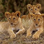 African Lion, (Panthera leo) Portrait of cubs. Serengeti Plains. Masai Mara Game Reserve. Kenya. Africa.