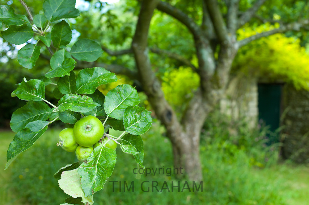 Bramley apple tree and stone shed in English cottage garden in Swinbrook in The Cotswolds, Oxfordshire, UK