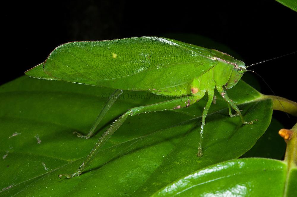 Narrow-winged leaf Katydid (Steirodon sp.)<br /> Yasuni National Park, Amazon Rainforest<br /> ECUADOR. South America