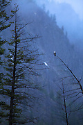 Osprey in Yellowstone National Park
