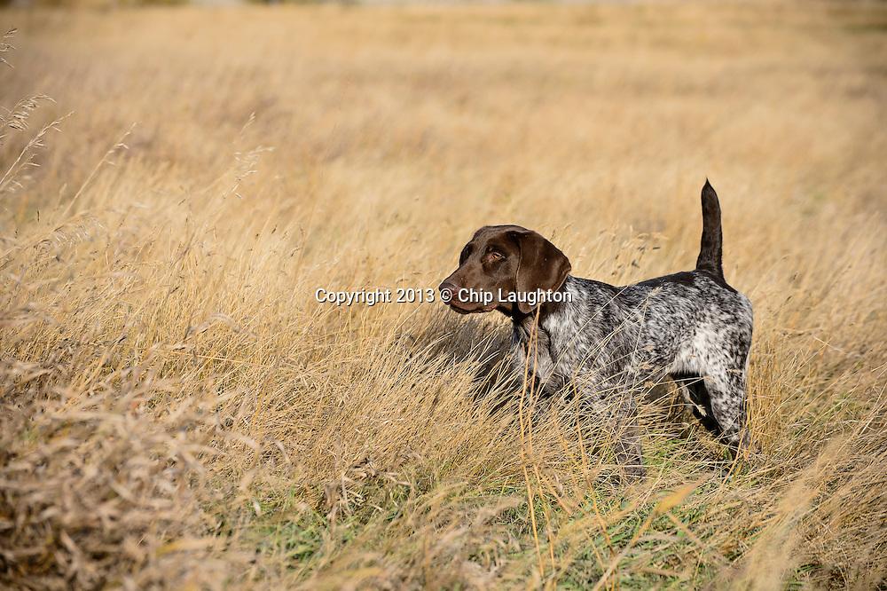 german shorthair pointer puppy stock photo image