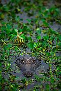Pocone_MT, Brasil...Jacare no Pantanal em Pocone, Mato Grosso...An alligator in the Pantanal in Pocone, Mato Grosso...Foto: JOAO MARCOS ROSA  /NITRO..