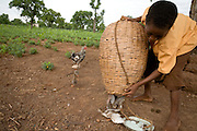A boy pours chickens out of a basket near the Anglican Primary School in the Savelugu-Nanton district, northern Ghana on Wednesday June 6, 2007. The boy carries the chickens from home in the basket, then releases them near the school where they will roam freely until he comes to pick them up after class..