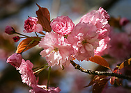 """The wonderful flowers of this ornamental cherry tree, Prunus accolade, are seen at their prime on a beautiful Spring day. Sunlight highlights the numerous shades of pink on these alluring blossoms. <br /> <br /> For IMAGE LICENSING just click on the """"add to cart"""" button above.<br /> <br /> Fine Art archival paper prints for this image as well as canvas, metal and acrylic prints available here:<br /> https://2-julie-weber.pixels.com/profiles/2-julie-weber.html?tab=artwork<br /> ___________________________"""