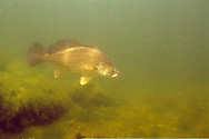 Freshwater Drum, Lake Michigan<br /> <br /> ENGBRETSON UNDERWATER PHOTO