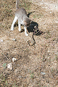 a domestic cat hunting and killing a snake Set of four images