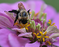 Bumble Bee on a Zinnia Bloom. Focus stacked composite of 25 images taken with a Fuji X-H1 camera and 80 mm f/2.8 macro lens (ISO 200, 80 mm, f/2.8, 1/250 sec). Images processed with Helicon Focus.