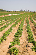 Rows of potatoes growing in field, Bawdsey, Suffolk, England