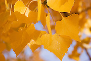 Extreme close-up of cottonwood leaves in fall, Los Luceros, New Mexico<br />