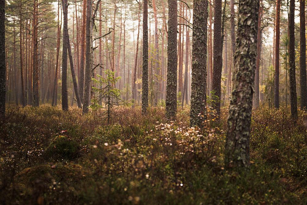 "Sunlit boggy forest with scots pines (Pinus sylvestris) and some small slowly growing spruces (Picea abies) in autumn light, Bezdibeņa purvs, Nature reserve ""Kārķu purvs"", Latvia Ⓒ Davis Ulands | davisulands.com"