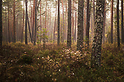 "Sunlit boggy forest with scots pines (Pinus sylvestris) and some small slowly growing spruces (Picea abies) in autumn light, Bezdibeņa purvs, Nature reserve ""Kārķu purvs"", Latvia Ⓒ Davis Ulands   davisulands.com"