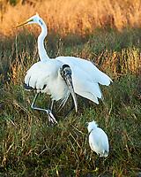 Great Egret (Ardea alba), Wood Stork (Mycteria americana), Snowy Egret (Egretta thula). Black Point Wildlife Drive. Merritt Island National Wildlife Refuge. Image taken with a Nikon D3 camera and 70-200 mm f/2.8 VR lens.