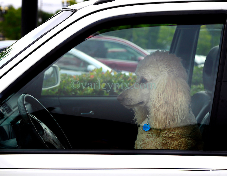 02 May 2013. New Orleans, Louisiana,  USA. .A poodle takes to the wheel of a car..Photo; Charlie Varley.
