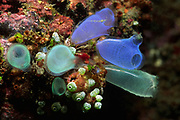Large variety of Tunicates (Sea Squirts).(includes Rhopalaea sp. Clavelina sp.).Lembeh Straits, Indonesia