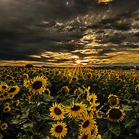 Summer sunflowers under dark clouds at sunset, near Davis, Yolo County, California.
