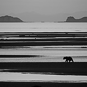 A lone Alaskan brown bear fishing the river at Hallo Bay. Katmai National Park, Alaska