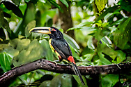 Toucan sitting on a branch in the jungle.