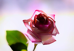 A single rose with a leaf