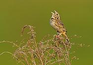 Henslow's Sparrow - Ammodramus henslowii