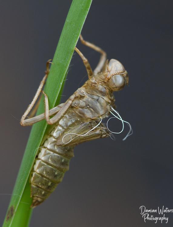 White-faced Darter, Leuchorrhinia dubia, exuvia or  exoskeleton remains