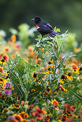 Red-winged blackbird perchedWidflowers on remnant patch of Blackland Prairie, Winfrey Point, White Rock Lake, Dallas Texas, USA