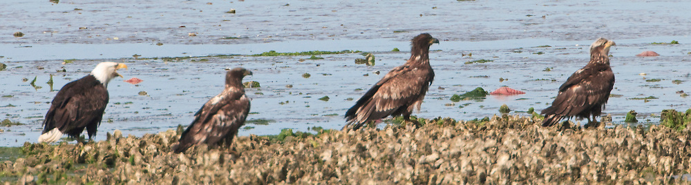 An adult Bald Eagle (Halietus leucocephalus) scolds three immature eagles as if the adult is a drill instructor on an oyster bed in the Hood Canal at Big Beef Creek, Kitsap Pensula, WA, USA