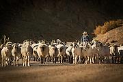 Farmer herding goats on the road from San Pedro de Atacama to Gautin. Chile, South America