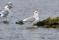 Mew Gull (Larus canus),  Vancouver Island, French Creek , British Columbia, Canada