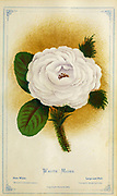 White Moss Rose from Dewey's Pocket Series ' The nurseryman's pocket specimen book : colored from nature : fruits, flowers, ornamental trees, shrubs, roses, &c by Dewey, D. M. (Dellon Marcus), 1819-1889, publisher; Mason, S.F Published in Rochester, NY by D.M. Dewey in 1872