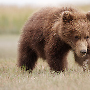 Brown bear, cub of the year, Lake Clark National Park, Alaska.