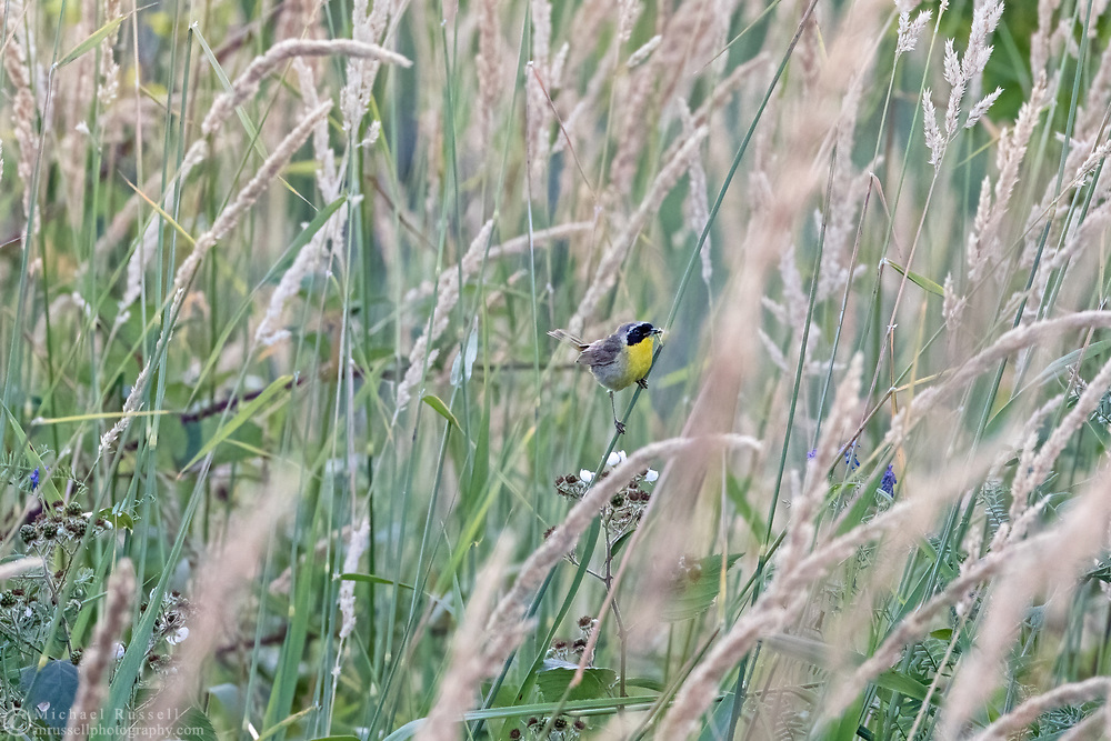 A Common Yellowthroat (Geothlypis trichas) hanging onto tall grasses at Campbell Valley Park in Langley, British Columbia, Canada.