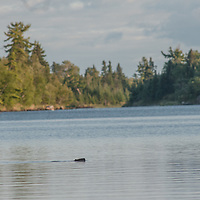 A beaver swims in Lake of the Woods, near Kenora, Ontario, Canada.