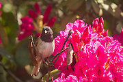 A dark-eyed junco (Junco hyemalis), Oregon variety, is perched on a dead branch of a rhododendron that is surrounded by fresh blooms.