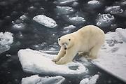 With two feets on each ice floe, this polar bear seem to be a bit uncomfortable | Med to føtter på hvert isflak, ser denne isbjørnen ut til å være litt ukomfortabel.