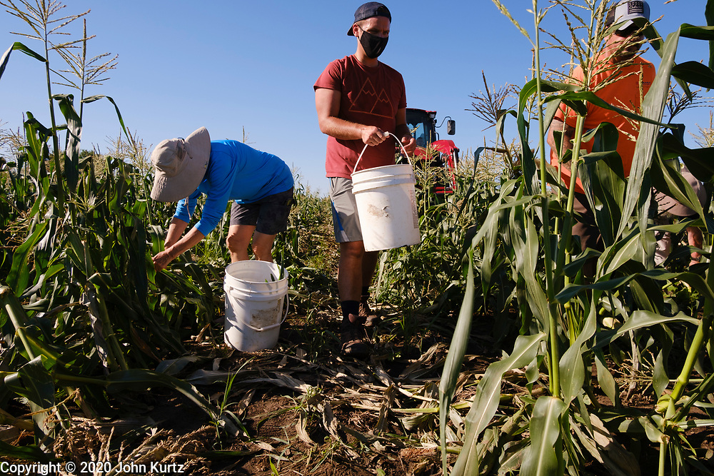 27 JULY 2020 - CARLISLE, IOWA: CARLENE RUSSELL, left, and STEVEN WILLIAMS, the operations manager for Eat Greater DSM, glean sweet corn on the Butcher Creek Farm in Carlisle. Volunteers from Eat Greater DSM gleaned sweet corn in the fields on the farm. The corn was packaged and will be distributed to Des Moines emergency pantries, community centers, and churches this week. Gleaning is the act of collecting leftover crops from farmers' fields after they have been commercially harvested or gathering crops from fields where it is not economically profitable to harvest. It is an ancient tradition first described in the Hebrew Bible. A spokesperson for Eat Greater DSM said food assistance need has skyrocketed this year. In a normal year, they distribute about 300,000 pounds of food. Since the start of the COVID-19 pandemic in March, they've distributed more than 500,000 pounds of food.       PHOTO BY JACK KURTZ