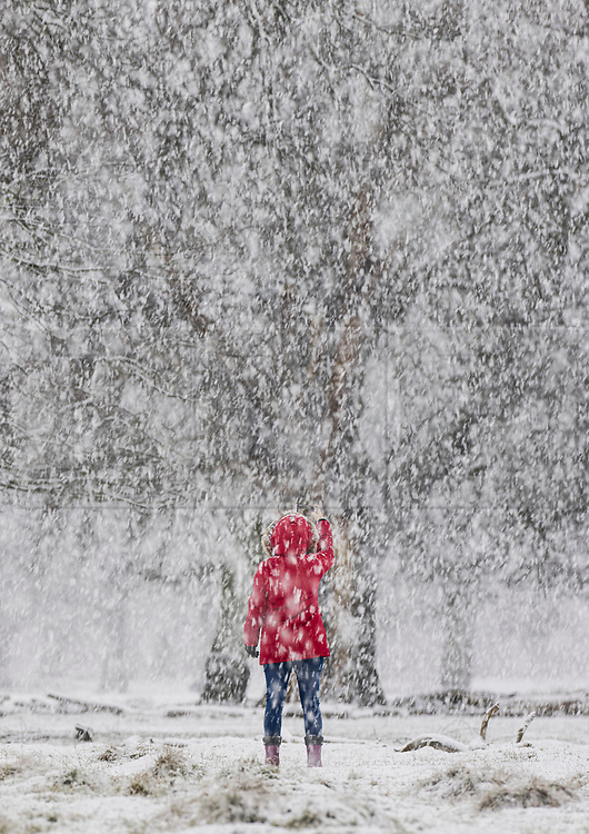 © Licensed to London News Pictures. 24/01/2021. London, UK. A woman in a red coat takes a phone photograph in a snowy Bushy Park in south west London. A band of snow is crossing the south east this morning as temperature remain just above freezing. Photo credit: Peter Macdiarmid/LNP