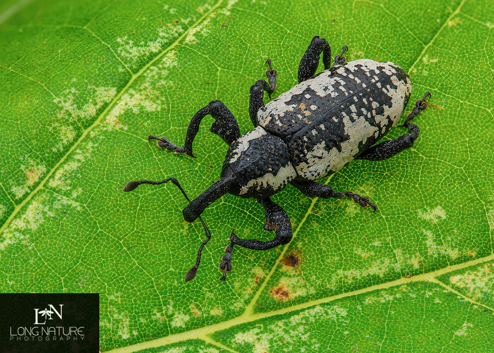 Heilipus apiatus - Avocado Weevil.  Photographed in Lady Lake, Florida USA after a hurricane on an azalea bush.