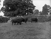 "21/08/1959<br /> 08/21/1959<br /> 21 August 1959<br /> Pedigree Bulls and Heifers for Coras Trachtala. Animals belonging to Senator Dr. R.P. Farnan, Bolton Castle, Moone, Castledermot, Co. Kildare: ""Bolton Julian Witch""; ""Bolton Julian Emerald""; ""Bolton Portrait"" and ""Bolton Gammer Gray""."
