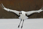 Red Crowned Crane, Grus japonensis, in flight, landing, wings open, Hokkaido Island, japanese, Asian, cranes, tancho, crested, white, black,  wilderness, wild, untamed, photography, ornithology, snow, flying, graceful, majestic
